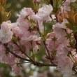 八重桜・大船フラワーセンター