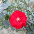 真赤な、真赤なバラ♪