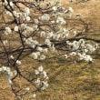 桜の開花は?