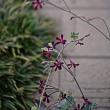 パシュミナが咲き出して