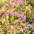 小紫式部の実はパープル色