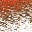 今日の野鳥   カンムリカイツブリ ・ カイツブリ ・ スズメ ・ モモイロペリカン ・     写真展のご案内