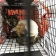 飼い主のいない猫さんの避妊.去勢手術2匹