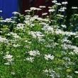 604号 イセナデシコ。お隣の庭の花。庭の花。ネギアブラムシ。スムシ用トラップ。シロアリ。
