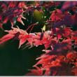 「旧下田邸庭園」 朝の紅葉 (3の3)   ★ 2017.12.11. ★