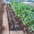 9月23日・ニンニク植え付けとニラ刈り捨てをしました!