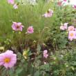今朝 花畠で 咲いている花。