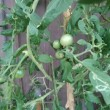 私のトマト