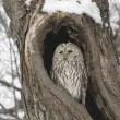 今日の鳥 アオバト エゾフクロウ ヤマセミ アオバトは今日も居ました、エゾフクロウも、ヤマセミも