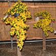 三島楽寿園 菊花展ライトアップ