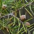 ねずの樹(愛知県の天然記念物)
