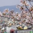 丸亀城は桜満開です。