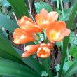 クンシランが咲きました。