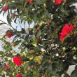冬の紅い花。