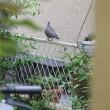 鳩と私と白モッコウ