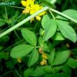 ロトゥス・ペドゥンクラトゥス Lotus pedunculatus