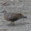 キジバト 幼鳥 給餌風景,オナガ