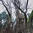 愛媛県上猿田のカツラ