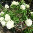 今日の花 今元気なのは松葉ボタンとベゴニア系の花たち