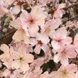 御苑の外の桜