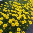 ♪~鮮やかな黄色ですね~♪