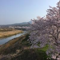 満開の土手の桜並木〜桜も色々、人生も色々〜