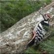 オオアカゲラ雌雄で