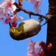 『メジロ』 河津桜に(2)
