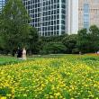 キバナコスモス咲く都心の庭園