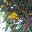 今年は不作の年と諦めて居ましたが、木の中に柚子を見つけました。良かったです。