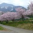 秩父市羊山公園の桜と芝桜