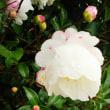 どうでもいい庭の山茶花、、おやぁ。。スマホで、、わりぃなぁ