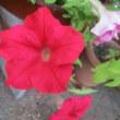 極暑日続く頑張る花 ②