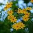 キクイモの花