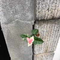 初雪カズラ  置かれた場所で咲く