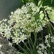 韮(にら)の花