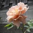 薔薇が咲いた、バラが咲いた