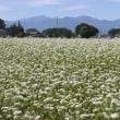 秋蕎麦の花が満開