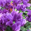 セレナディア・アロマブルーの花は