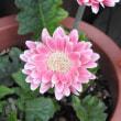 バラの花とピンクのガーベラ