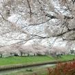 今年も桜が咲きました!