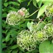 センリョウの花・テッセンの種