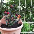観る「トウガラシ」植えたよ