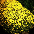 『晩秋の色』 ざる菊