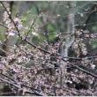 大楽寺跡の薄墨桜が開花♪