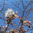 楽しい園芸 桜開花
