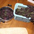 Perilla frutescens var. crispa