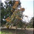 8年前に植えた愛宕柿