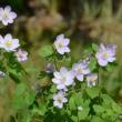 梅花カラマツの花