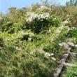 山藤の花、うまく写真撮れなかった